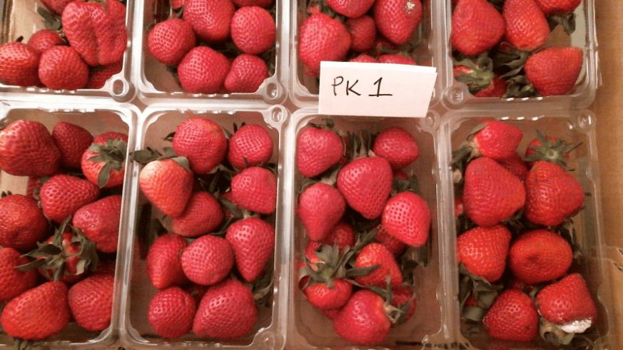 Strawberry View from Webcam PK-1 No Bluezone® – Day 10 (Berries 20 days old, total) Mold growth on multiple berries.