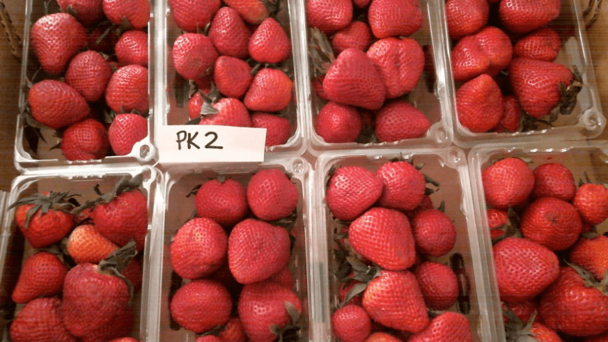 Strawberry View from Webcam PK-2 With Bluezone® – Day 10 Berries 20 days old, total No Visible Mold