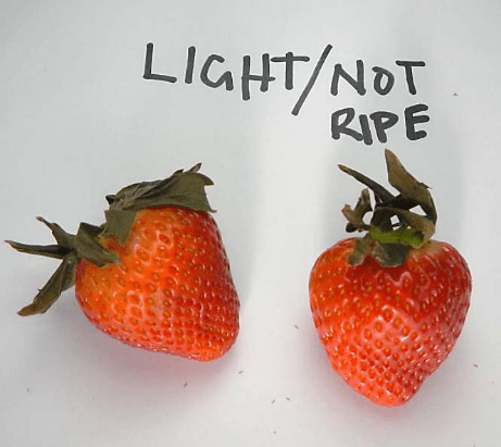 Light colored strawberries