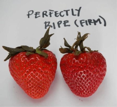 Ripe strawberries in food storage that uses the Bluezone UV air filtration system