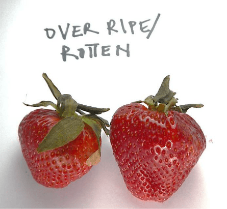 Overly ripe rotten strawberries in food storage that does not use Bluezone UV air purification