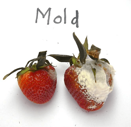 Moldy strawberries in food storage that does not use Bluezone UV air purification